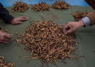 每公斤卖到 2 万美元的虫子