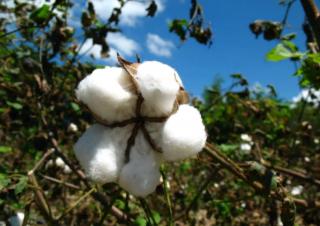 过去有毒的棉籽能帮助满足世界粮食需要吗?