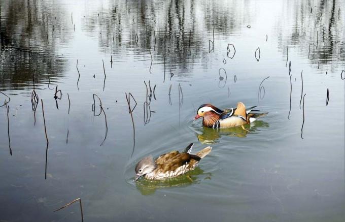 [摄影]鸳鸯戏水
