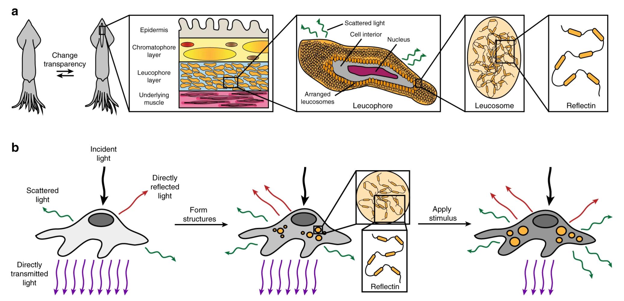 人类细胞首次实现可控可逆变透明