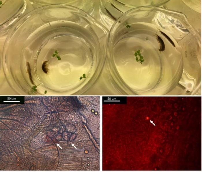 """研究发现一种甲壳类动物能在4天内将微塑料转变成""""纳米塑料"""""""