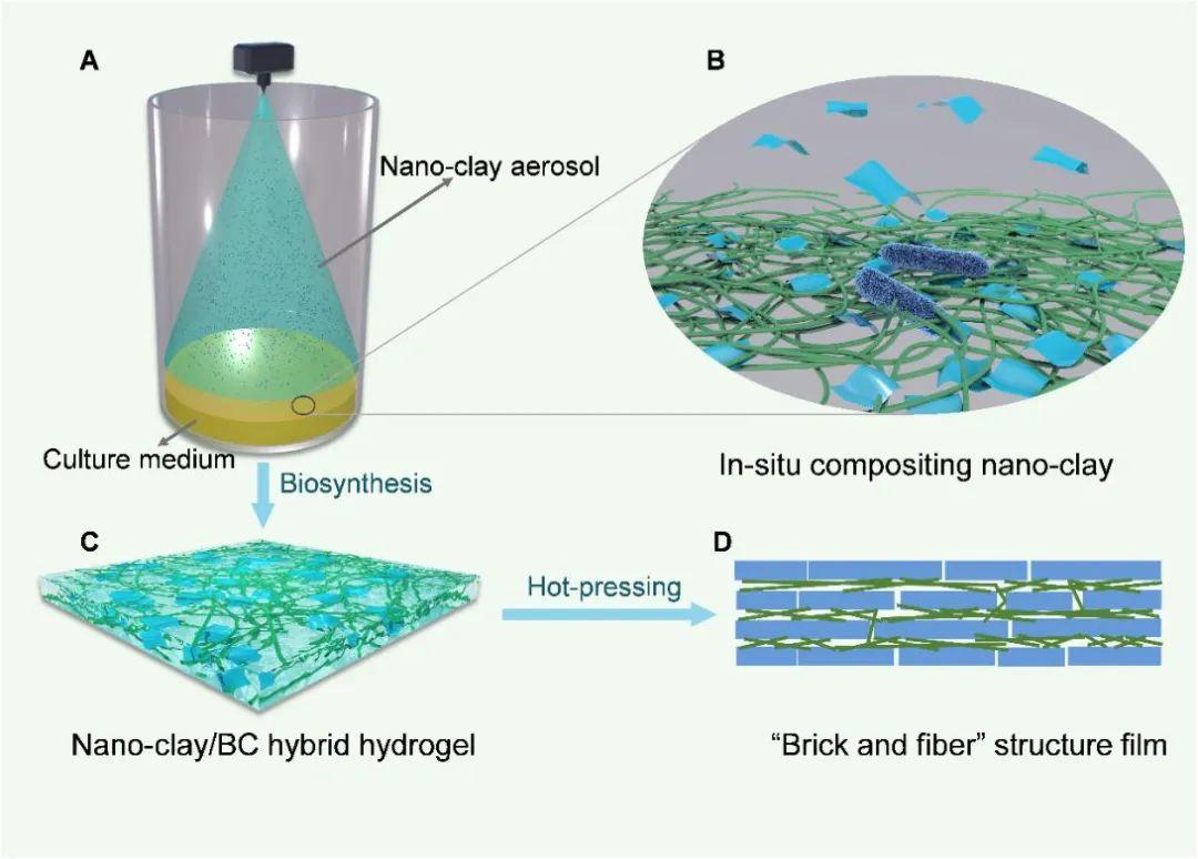 """图1. 高性能可持续仿贝壳透明薄膜的制备过程与结构示意图。(A-B) 常温常压下微生物辅助合成复合水凝胶的过程。(C)具有三维纳米纤维网络结构的复合水凝胶。(D) 高性能可持续仿贝壳透明薄膜内部的""""砖-纤维""""结构。"""