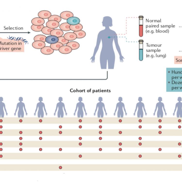 由生物医学基因组学实验室的努瑞亚·洛佩兹—比嘎斯领导的研究团队对来自66种癌症的约28000个肿瘤的基因组进行了广泛的计算分析,并确定了568个癌症驱动基因。
