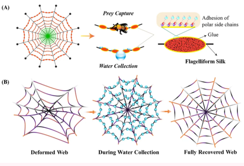 图A是蜘蛛捕丝的结构、功能及表面化学;图B说明蜘蛛网因应环境变化的反应。(图片来源: DOI number: 10.1002/adfm.202002437)