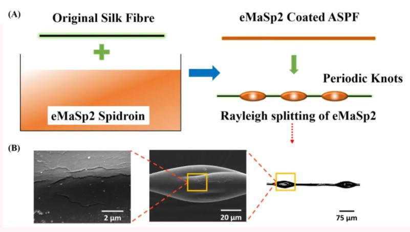 """图A为制备这种全丝蛋白基人造丝的方法,将蚕丝浸渍在含有eMaSp2的溶液中,令蚕丝表面形成隔开一定距离的""""结""""。图B的显微镜影像显示这些""""结""""的表面并不平滑。(图片来源: DOI number: 10.1002/adfm.202002437)"""
