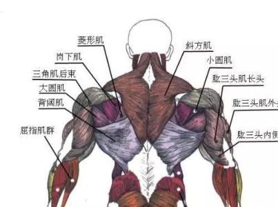 背部有哪几部份构成?-追梦健身网