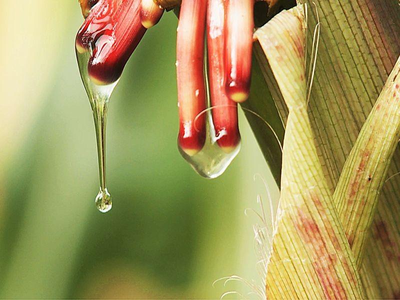 多种玉米已经发展出一种自生产氮的方法