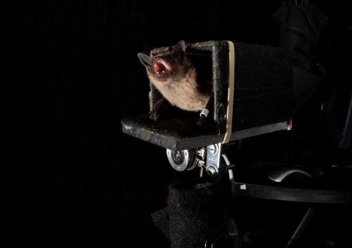 研究人员发现蝙蝠可以预测未来