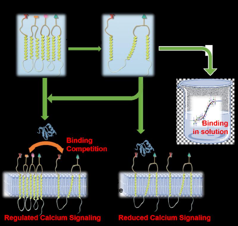 上海交大生科院与MIT科研团队合作开展的膜蛋白的人工设计研究取得新突破