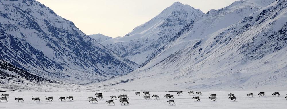 新数据库显示面对气候变化北极动物行为变化